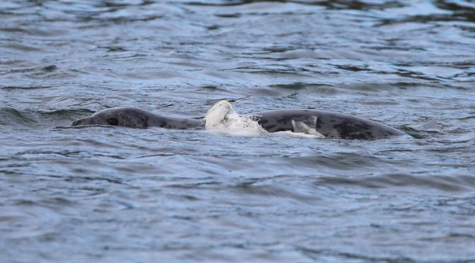 A seal tangled with plastic near Rathlin Island